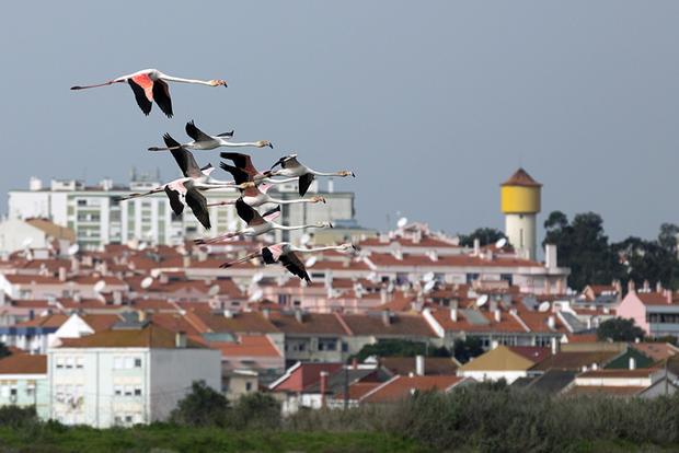 Flamingos no Moinho de Maré de Corroios